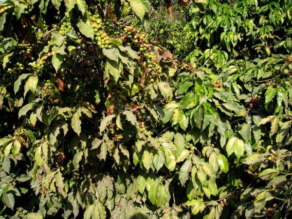 Coffee Beans Lake Atitlan Guatemala