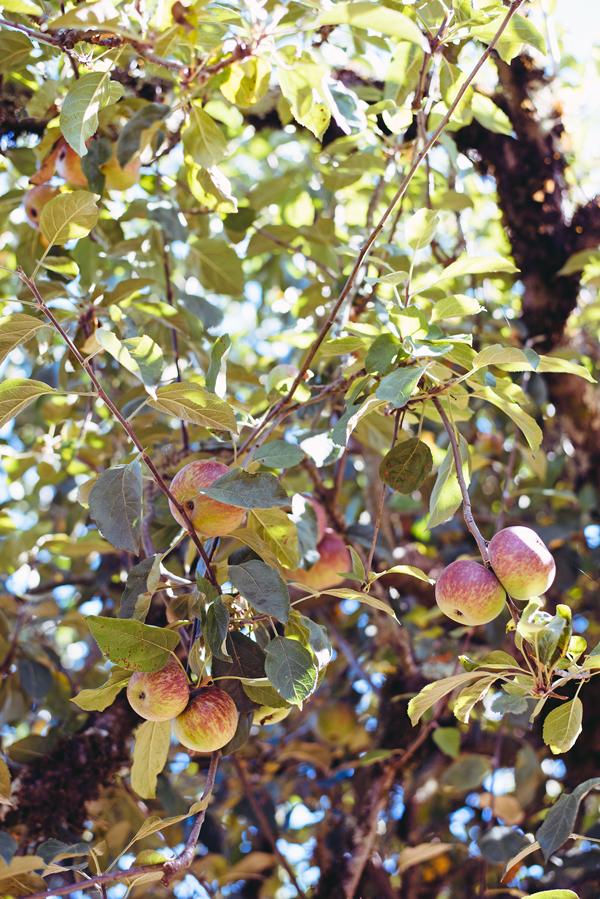 Apple-Picking-Photoshoot-Style-5745